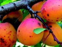 Armeniaca-vulgaris-392x230