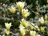 magnolia-yellow-river2